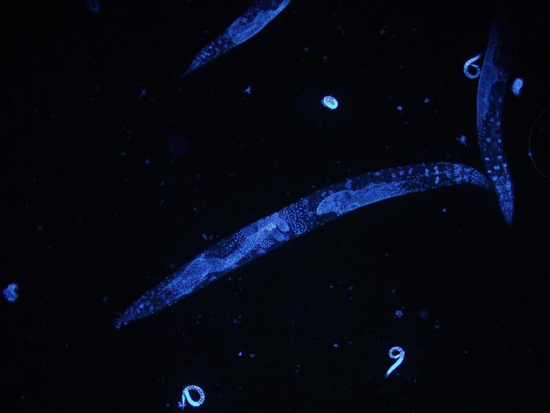 Cold Improves Longevity For Some C  Elegans Worms