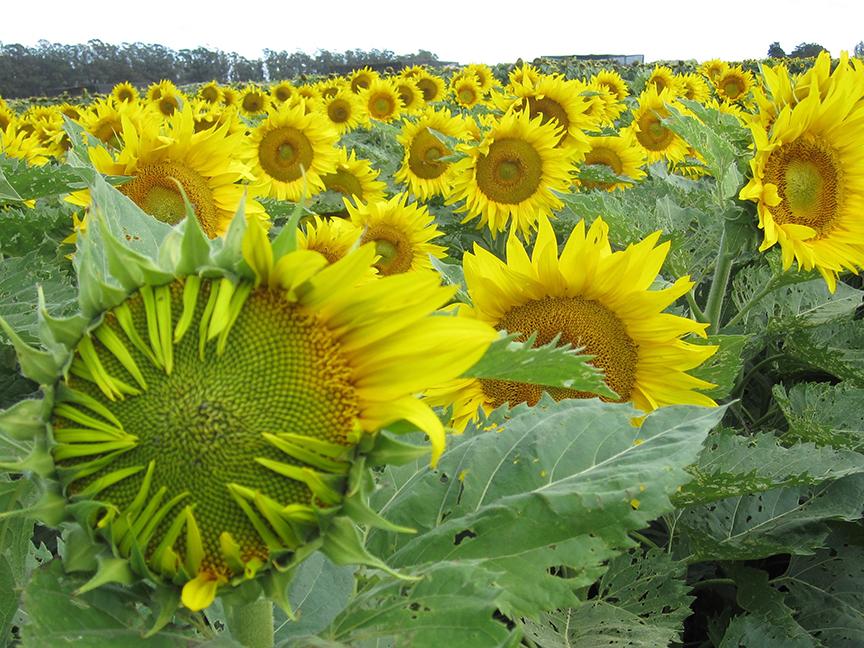 Sunflower mature summer