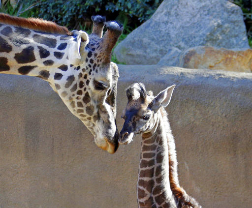 A Squirt At 6 Feet Baby Giraffe To Debut At Los Angeles Zoo