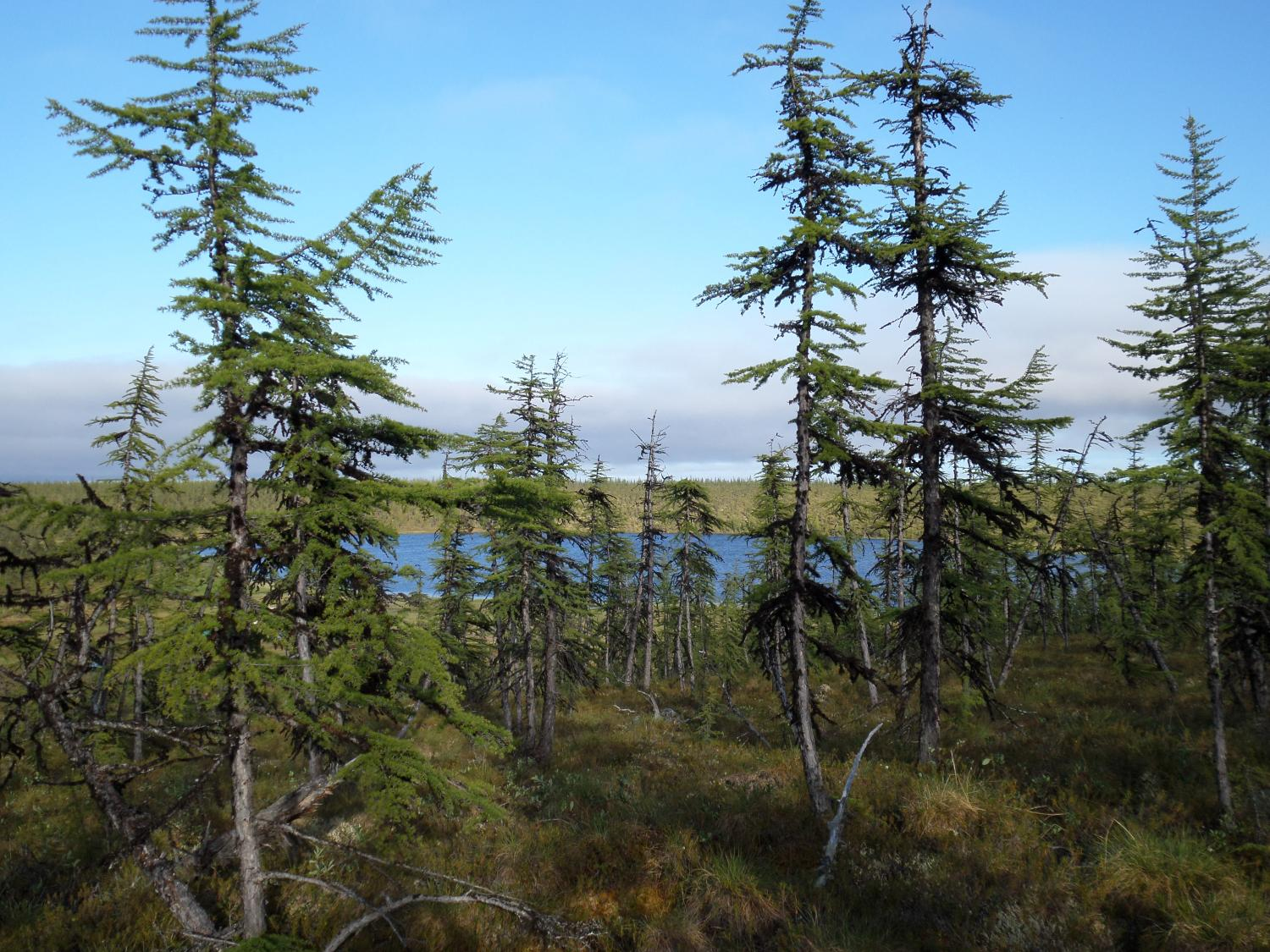 of siberia forests