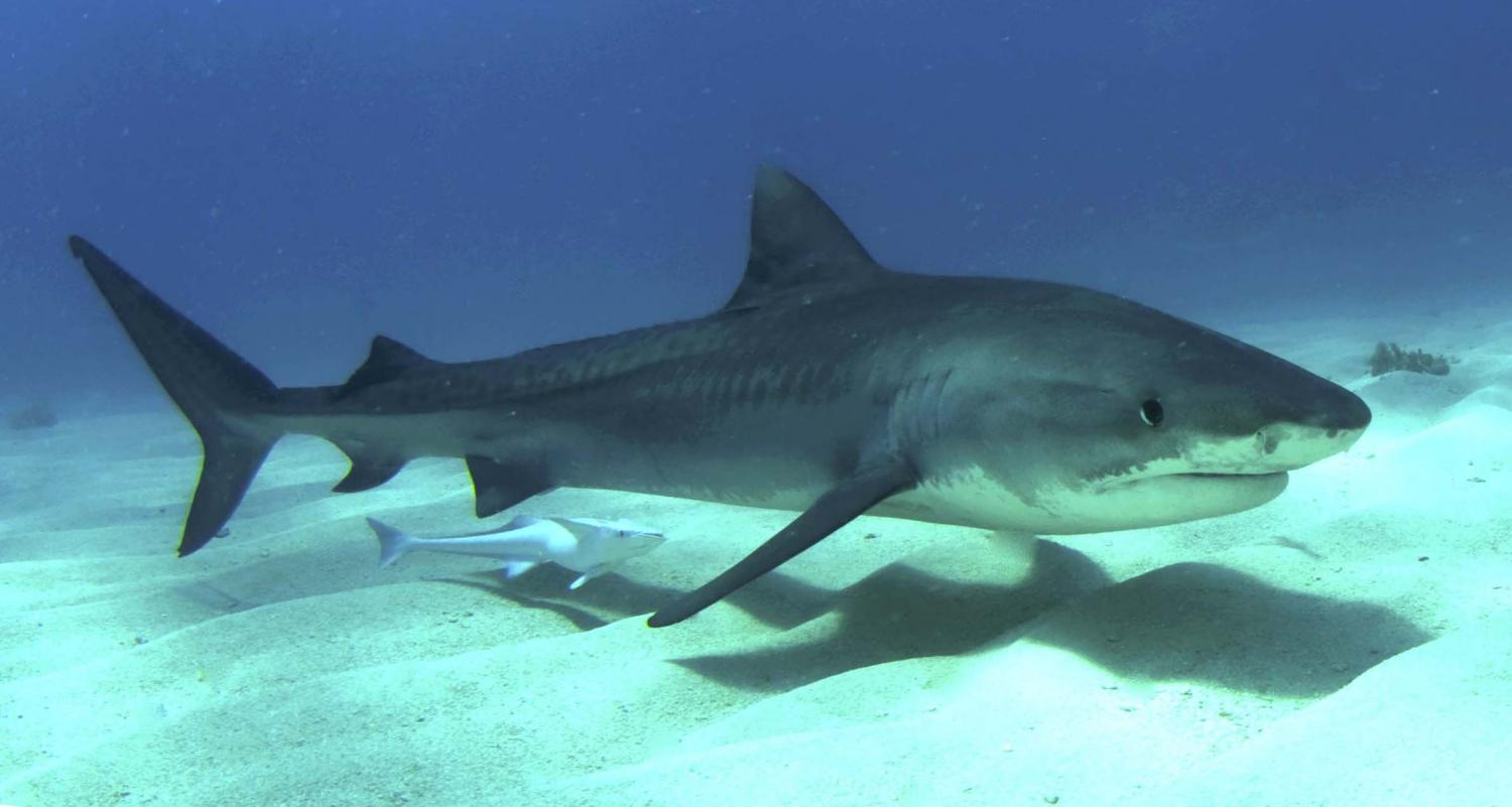 Tracking The Tailbeats Of A Tiger Shark