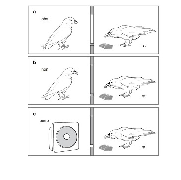 Researchers find birds can theorize about the minds of others, even those they cannot see