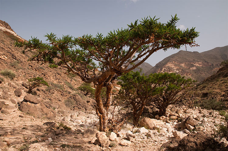 Frankincense Tested As Possible Breast Colon Cancer Treatment