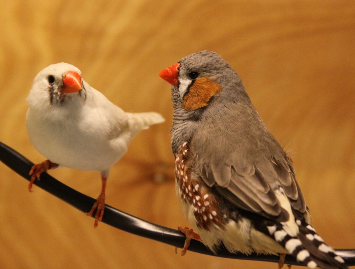 Lost In Translation To The Untrained Zebra Finch Ear Jazzy Courtship Songs Fall Flat