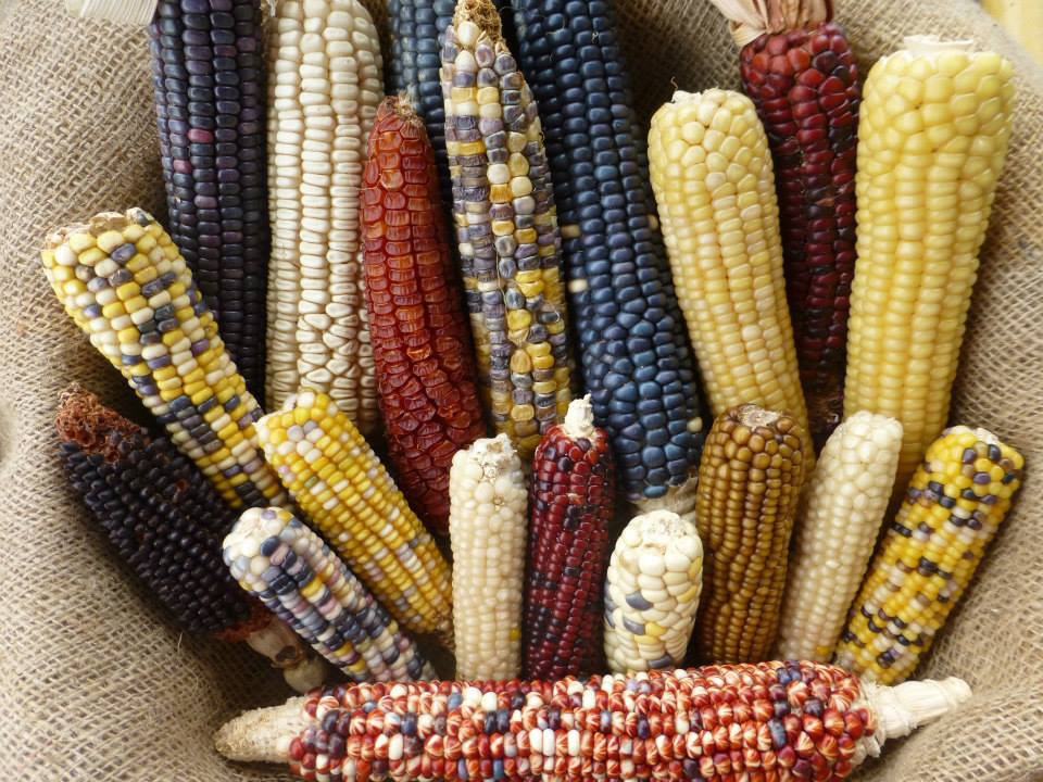 Genome sequencing shows maize adapted to highlands thousands of ...