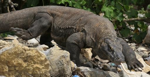 Komodo Dragon Attacks Tourist In Indonesia