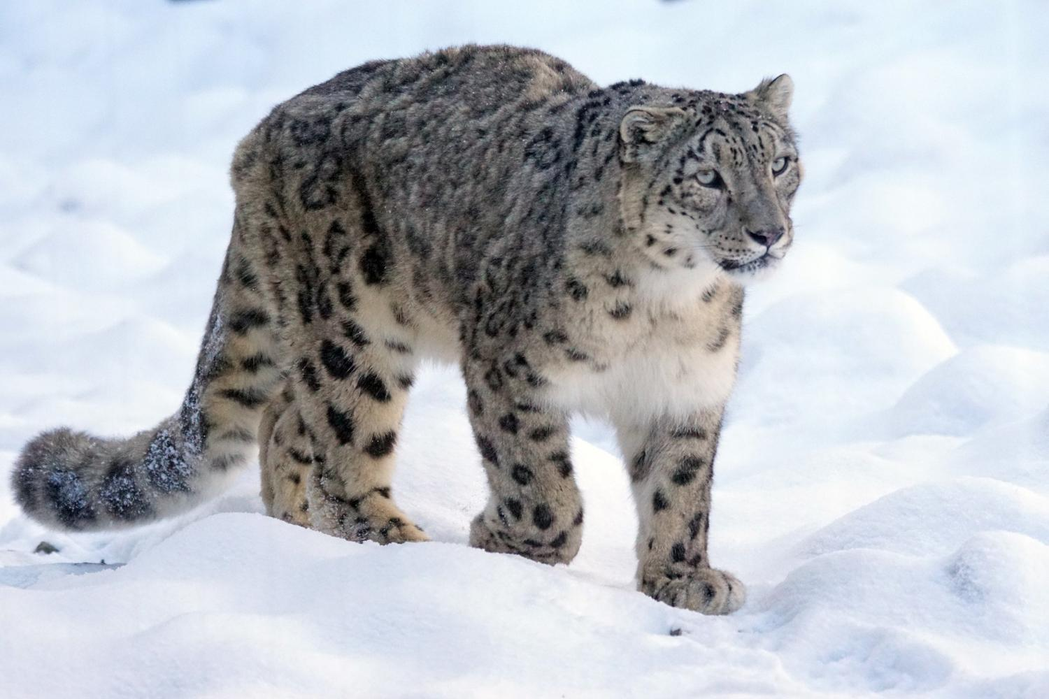 Three New Sub Species Of Snow Leopard Discovered