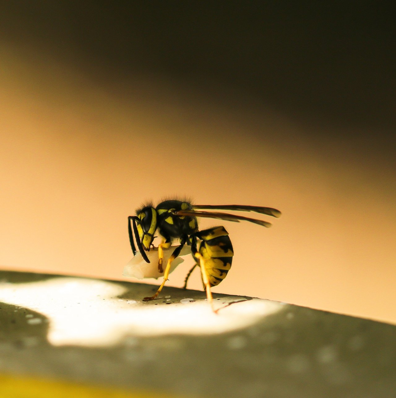 'Profound' evolution: Wasps learn to recognize faces