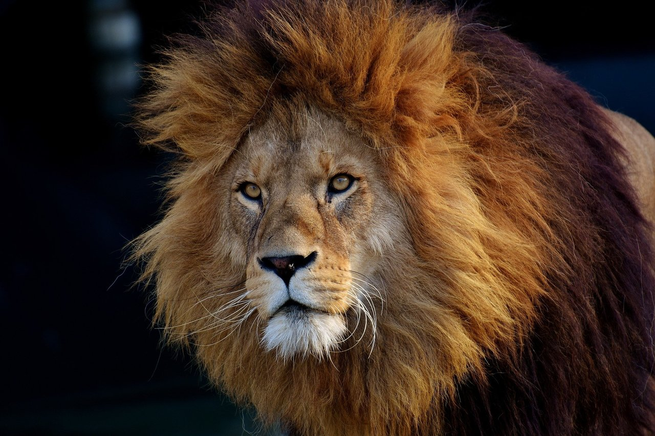 New Genetic Study Of Lions May Help To Prevent Them Going Extinct