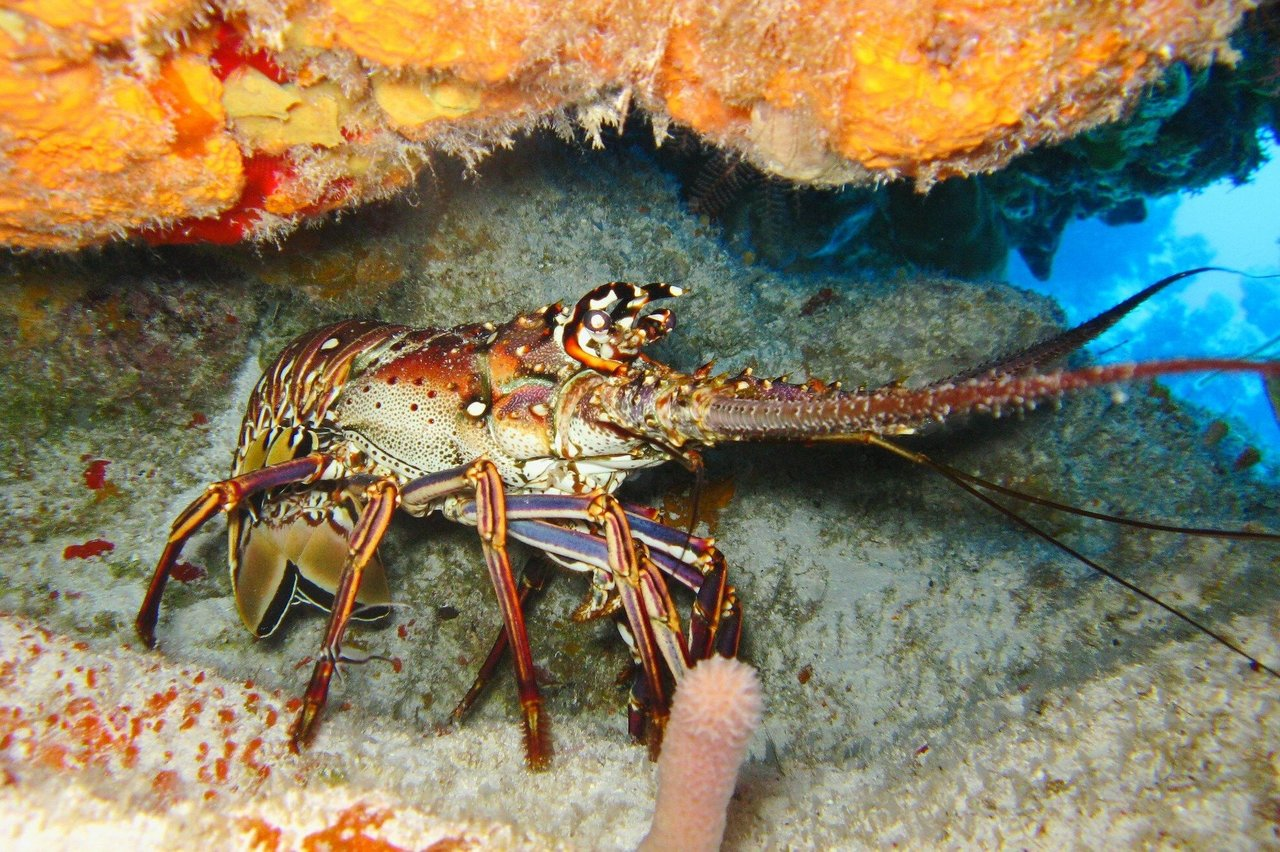 New study addresses changes in lobster molt timing, Gulf of Maine temperature shifts