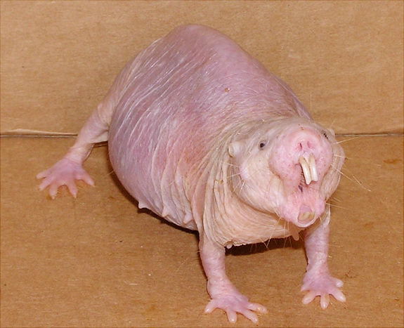 photo of Could naked mole rats hold key to curing cancer and dementia? image