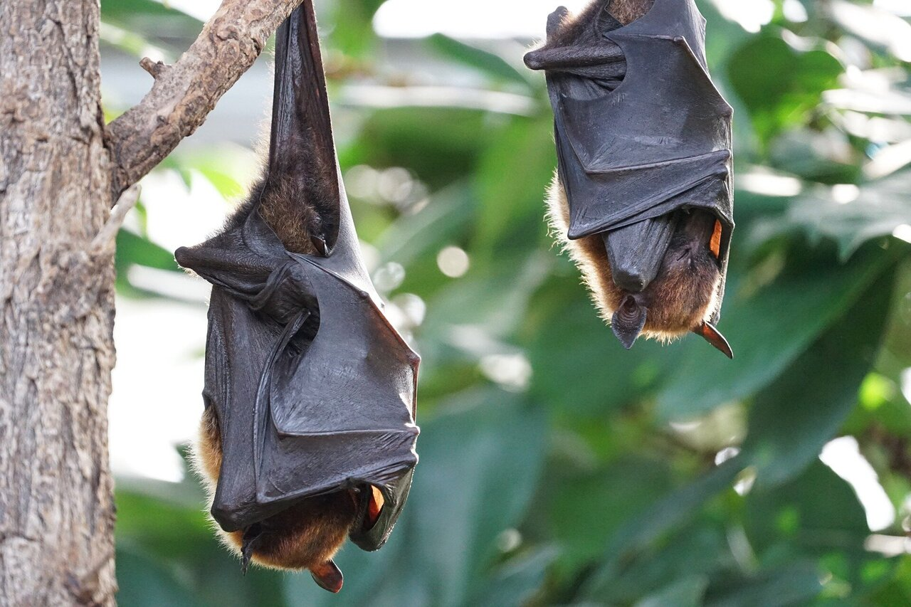 Discovery Of New Virus In Bats Linked