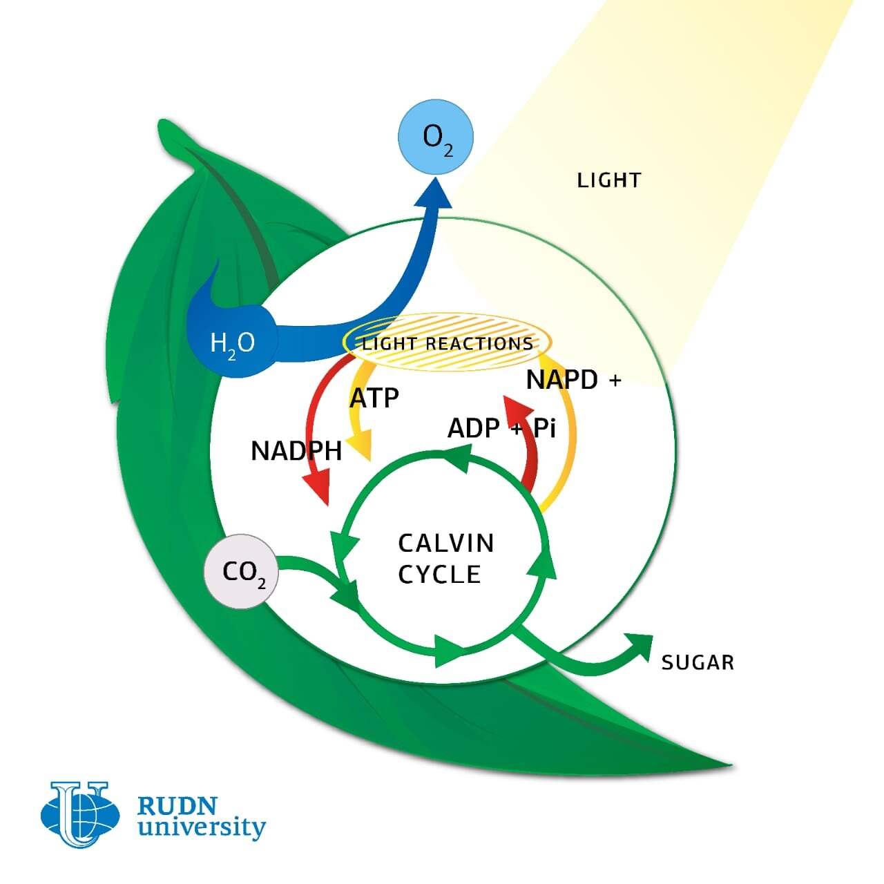Biologist Develops New Model For Analyzing Photosynthesis In Vivo This natural process makes it possible for plants and other organisms to create food when it is required. analyzing photosynthesis in vivo