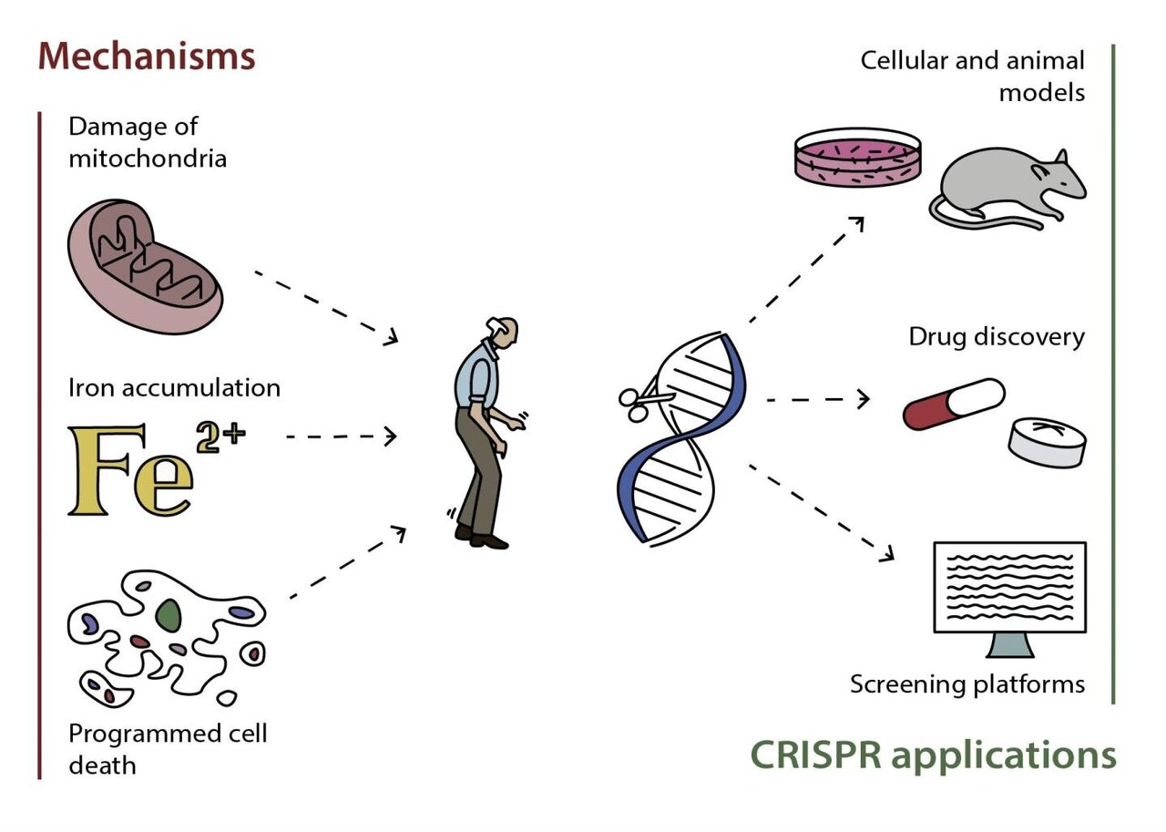 Scientists explore genetic engineering to treat Parkinson's diseaseMedical Xpress