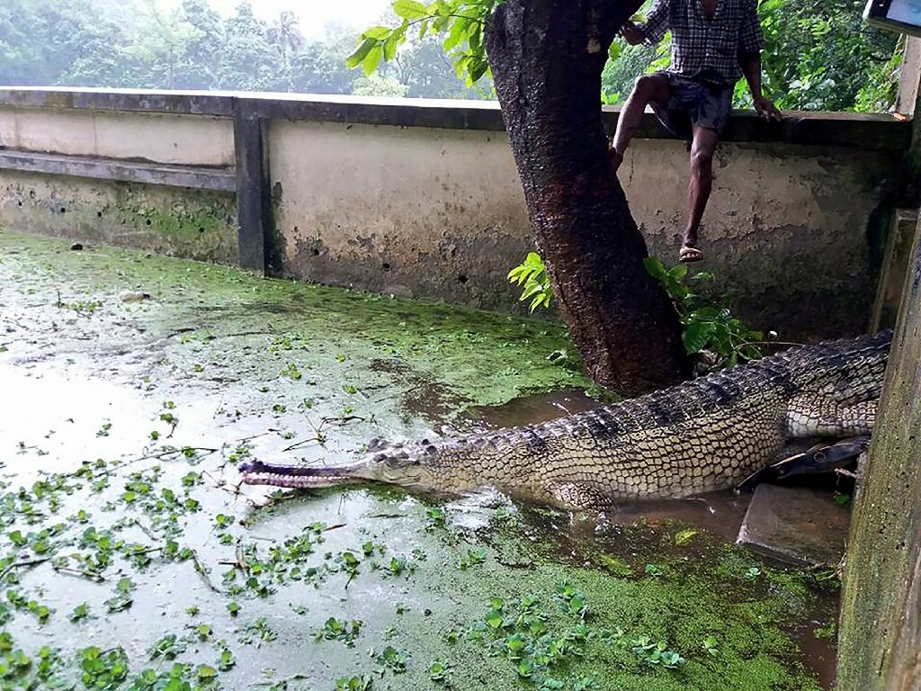 Rare Bangladesh crocodile lays eggs in new hope for species