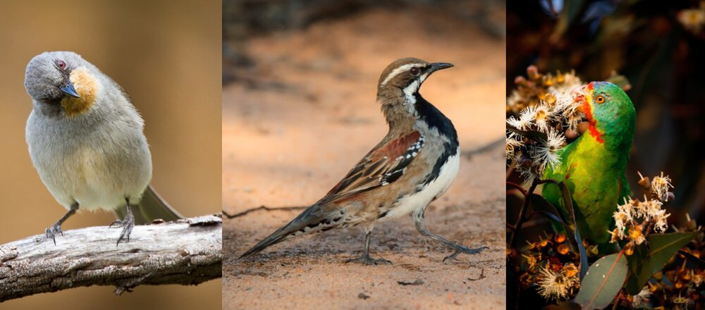 photo of Australia's threatened birds declined by 59% over the past 30 years image