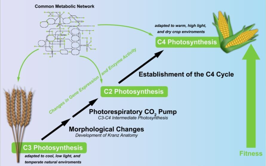 photo of Modeling the evolutionary development of C4 photosynthesis image