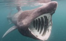 Basking sharks exhibit different diving behaviour depending on the season, a new study shows