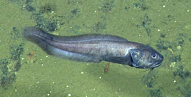 Biologists Discover Deep Sea Fish Living Where There Is Virtually No Oxygen