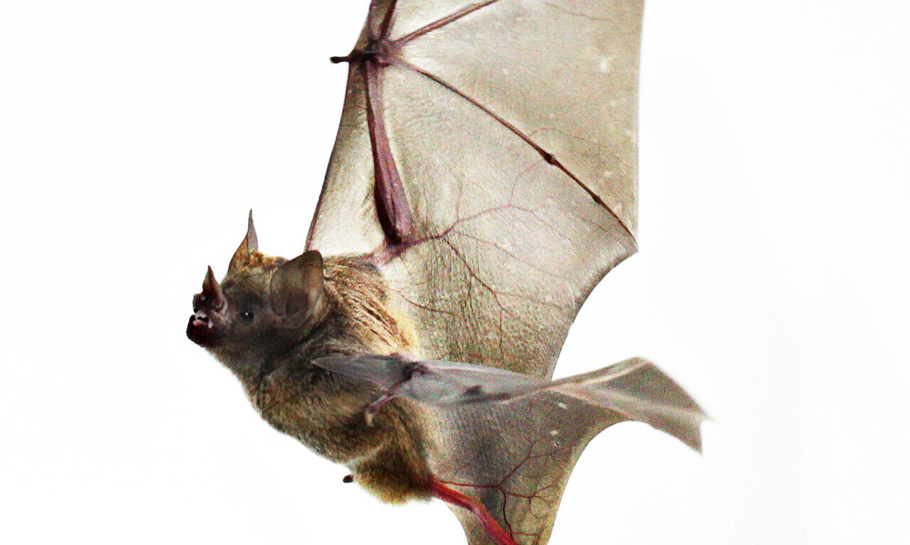 Biology Of Bat Wings May Hold Lessons