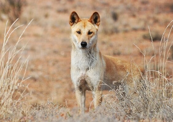 what is a desert dingoes diet