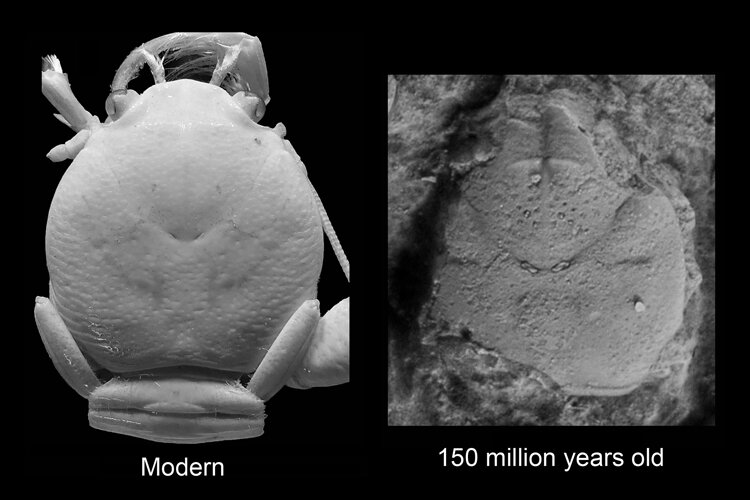 Coral reefs and squat lobsters flourished 150 million years ago