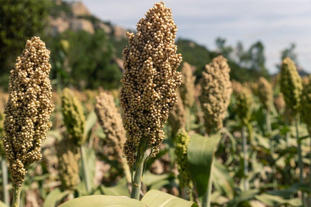 9 Kelebihan Sourgum: Makanan Sehat Pengganti Nasi