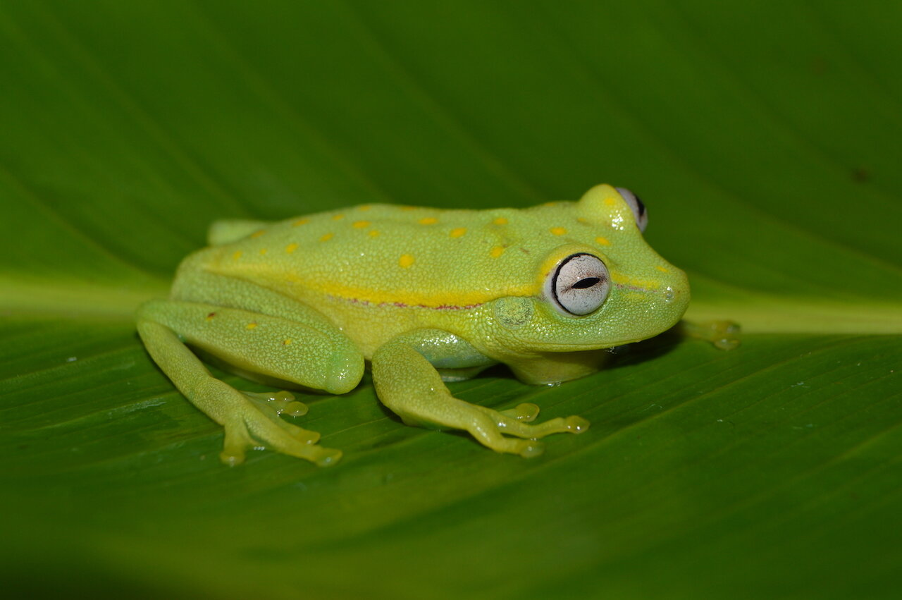 First widespread chytrid fungus infections in frogs of Peruvian Amazon rain forests