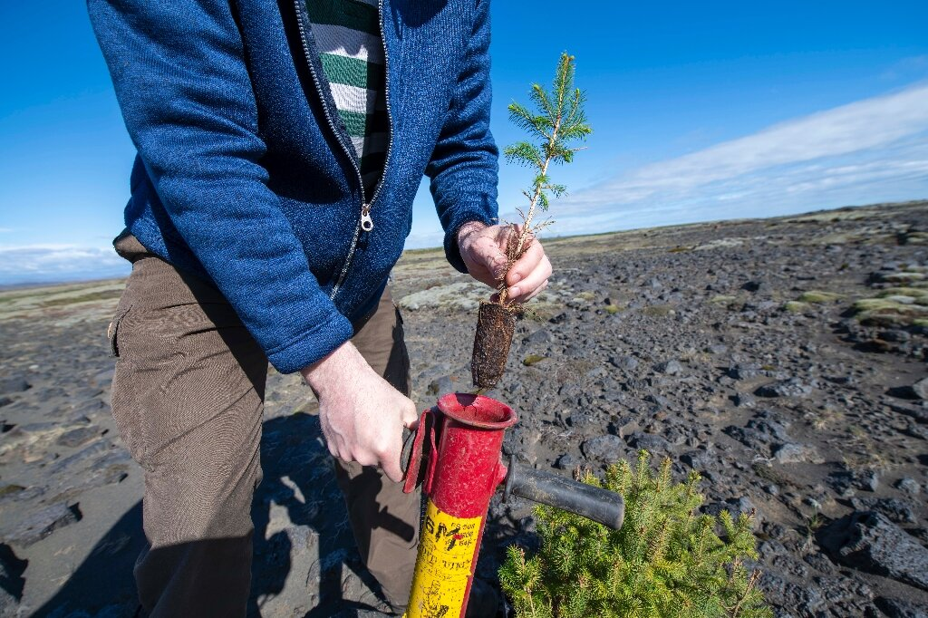 Iceland tries to bring back trees razed by the Vikings
