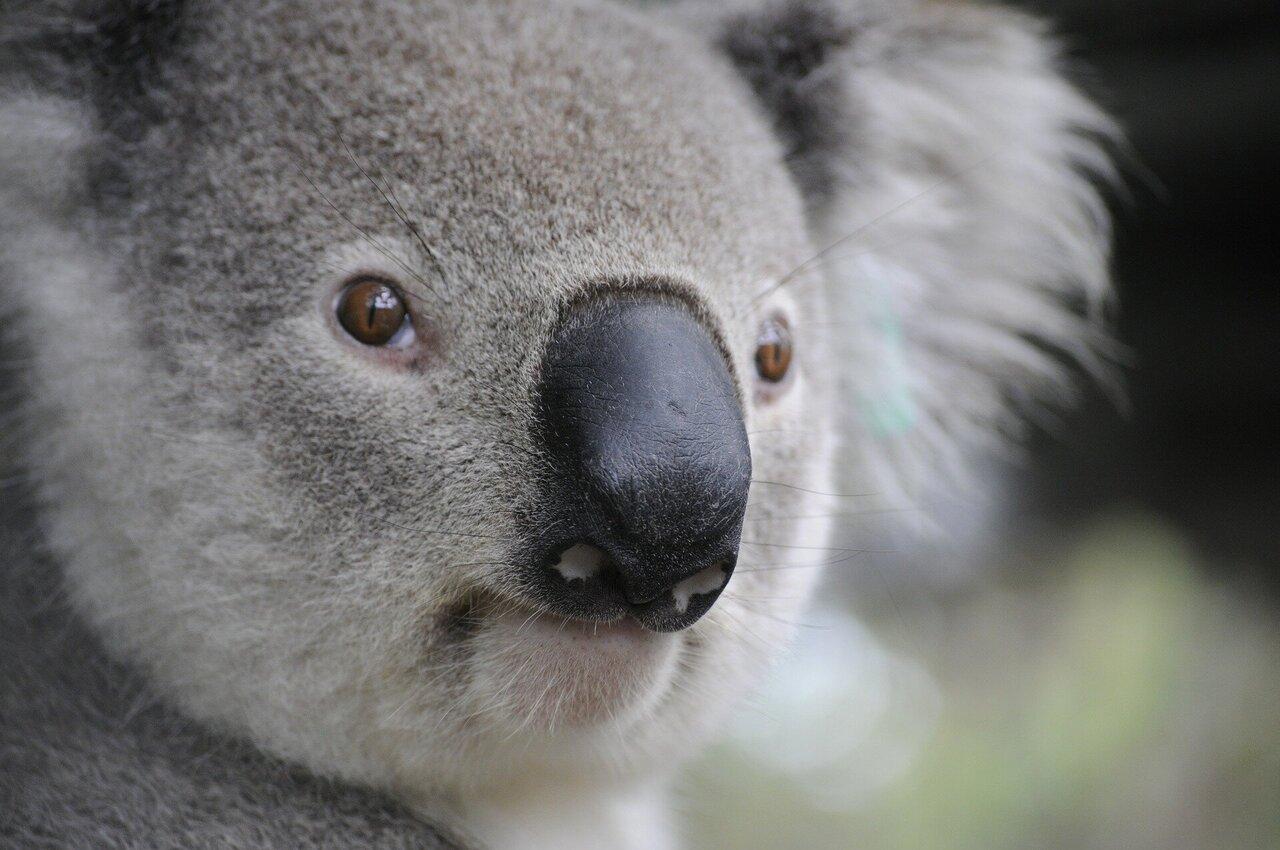 New study reveals an innate genome immune response to retroviruses in koalas