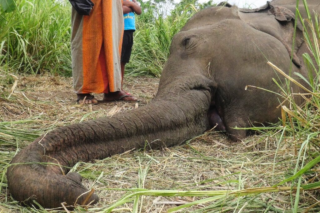 Three more elephants killed in Sri Lanka, bringing toll to seven