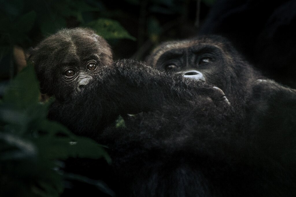 photo of High-stakes conflict threatens DR Congo gorillas image