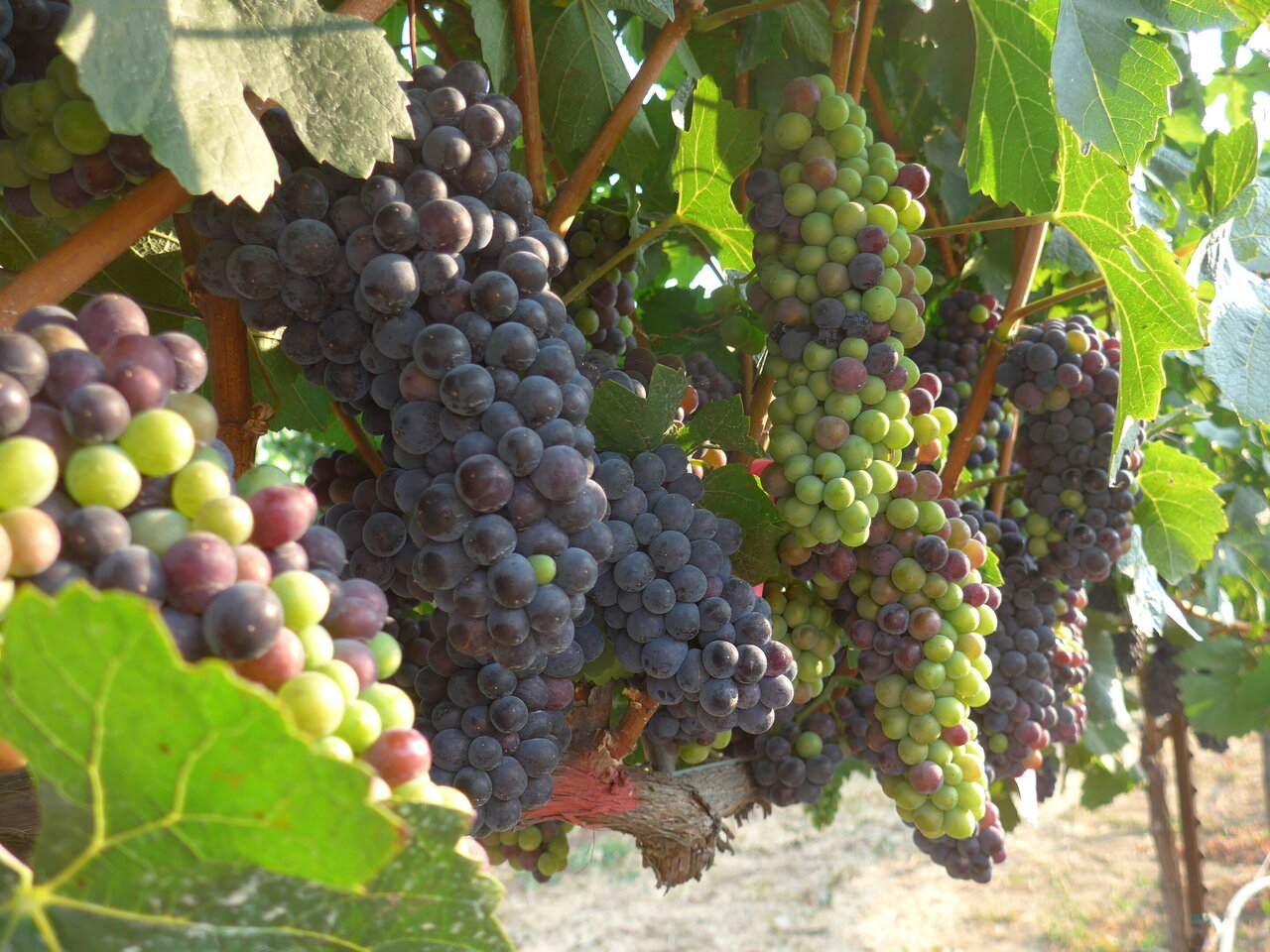 Wine regions could shrink dramatically with climate change unless growers swap varieties