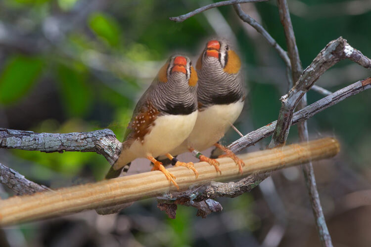 photo of Zebra finches amazing at unmasking the bird behind the song image