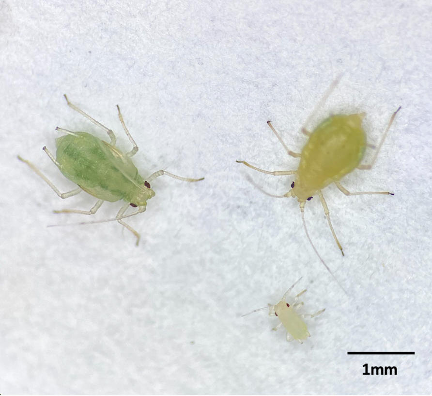 Targeting the bacteria inside insects for improved pest...