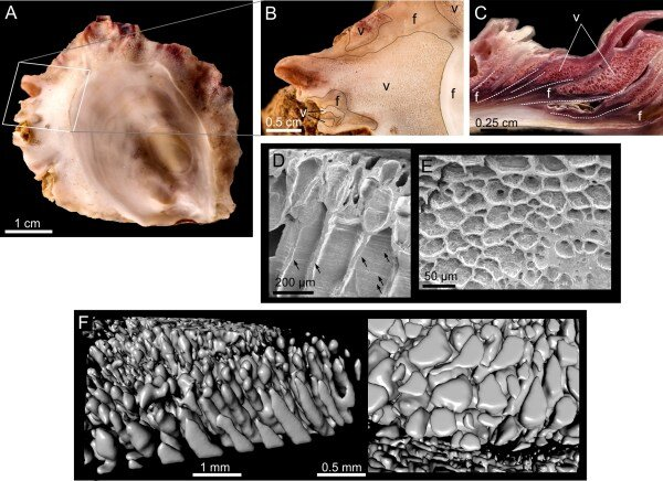 Oysters produce 3-D structures organised by physical processes