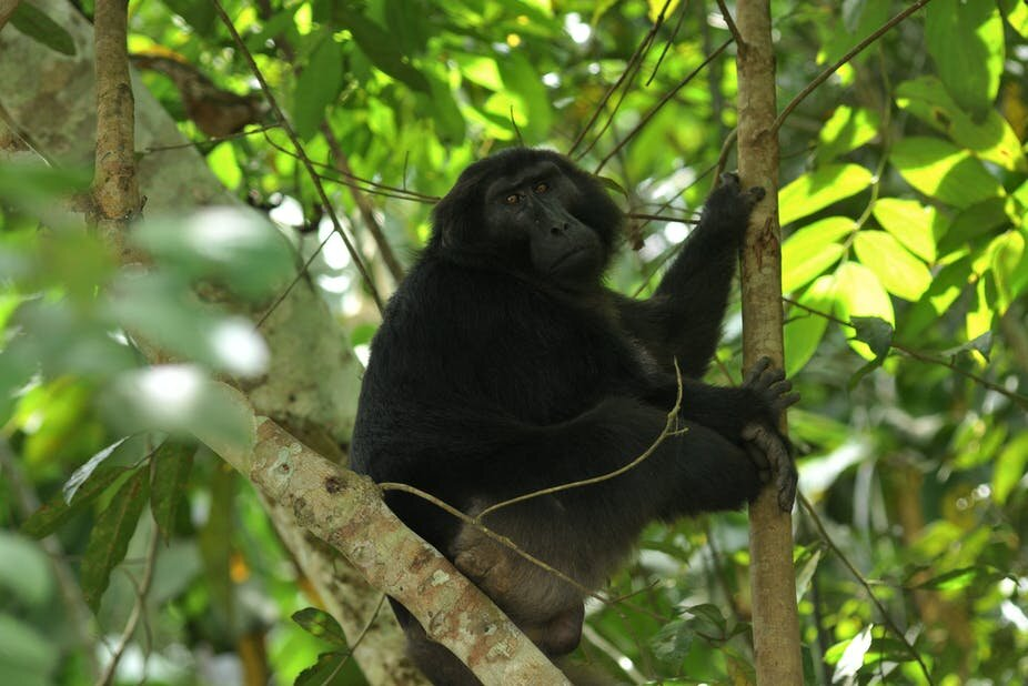 Deforestation on Indonesian island of Sulawesi destroys habitat of endemic primates