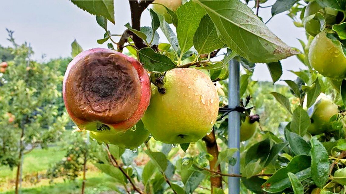 Newly discovered pathogen in NY apples causes bitter rot disease