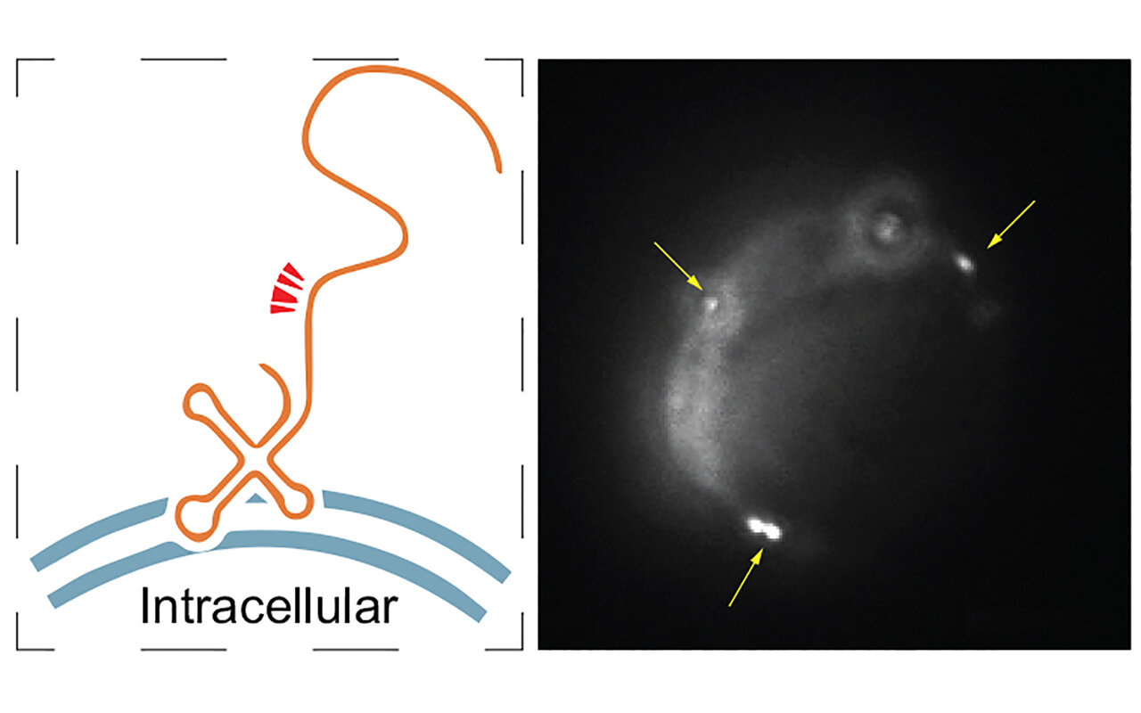 Add human-genome produced RNA to the list of cell surface molecules