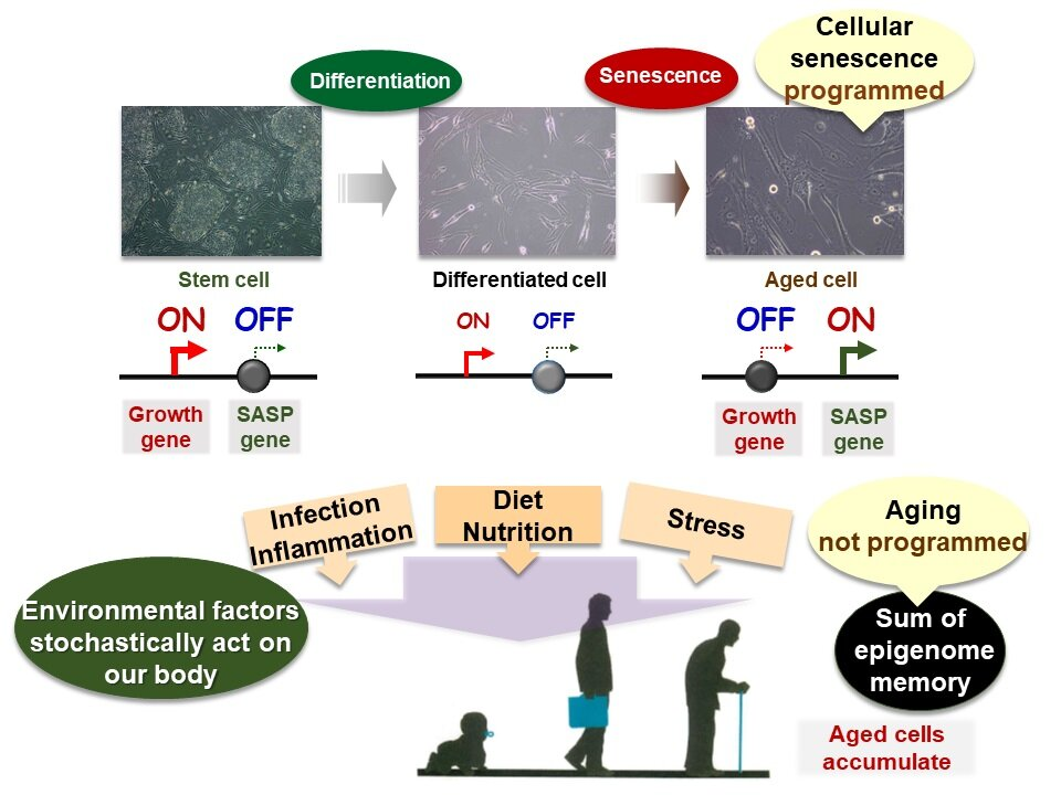 Aged cell variations may control health and onset of age-related diseases
