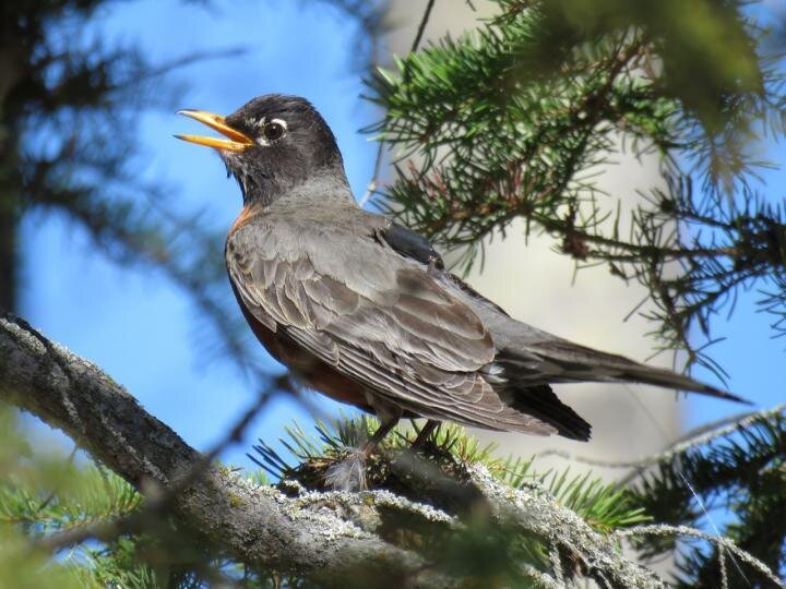 American robins now migrate 12 days earlier than in 1994
