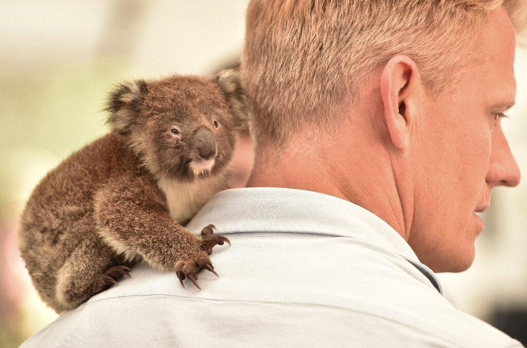 photo of Makeshift koala hospital scrambles to save dozens injured in bushfires image