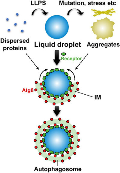 Autophagy degrades liquid droplets—but not aggregates—of proteins