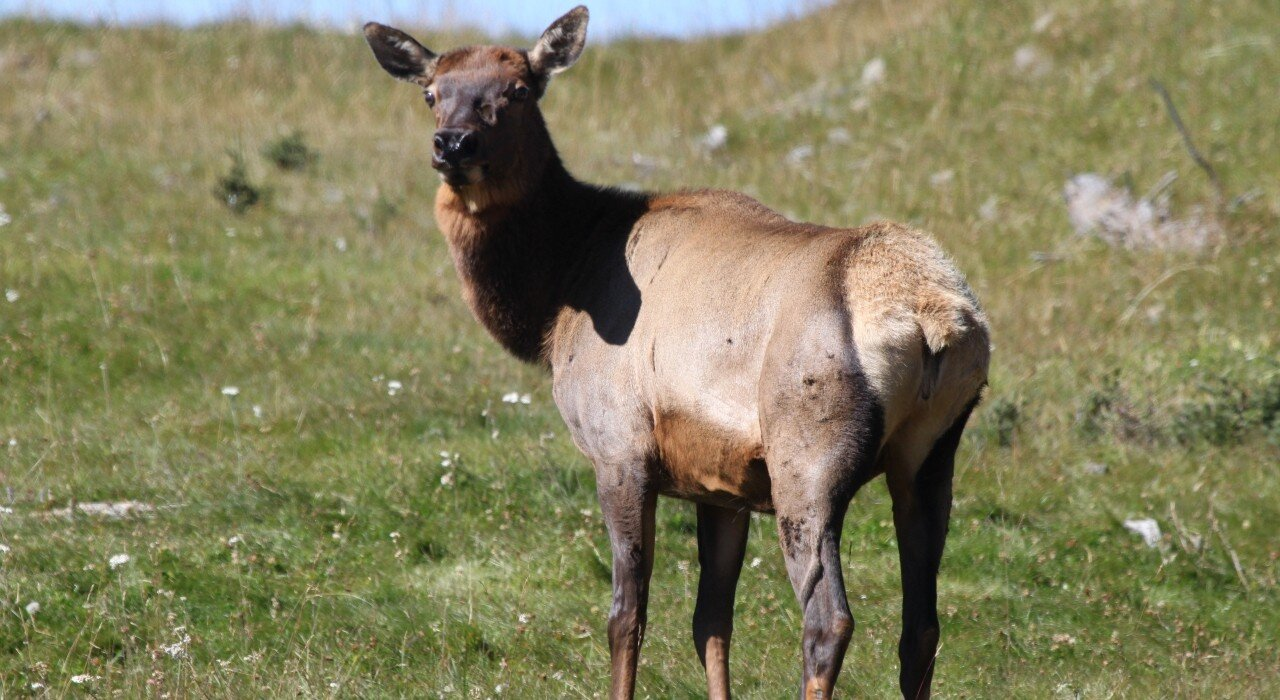 Diseases spread from wildlife pose risk to livestock and humans in Alberta, scientists find