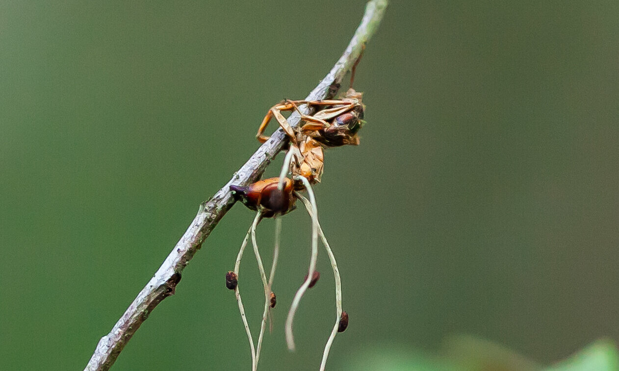 How a fungus turns ants into zombies