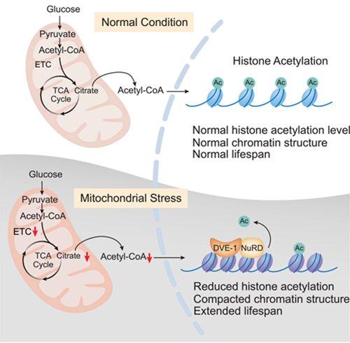 Mitochondrial metabolite mediates longevity through epigenomes