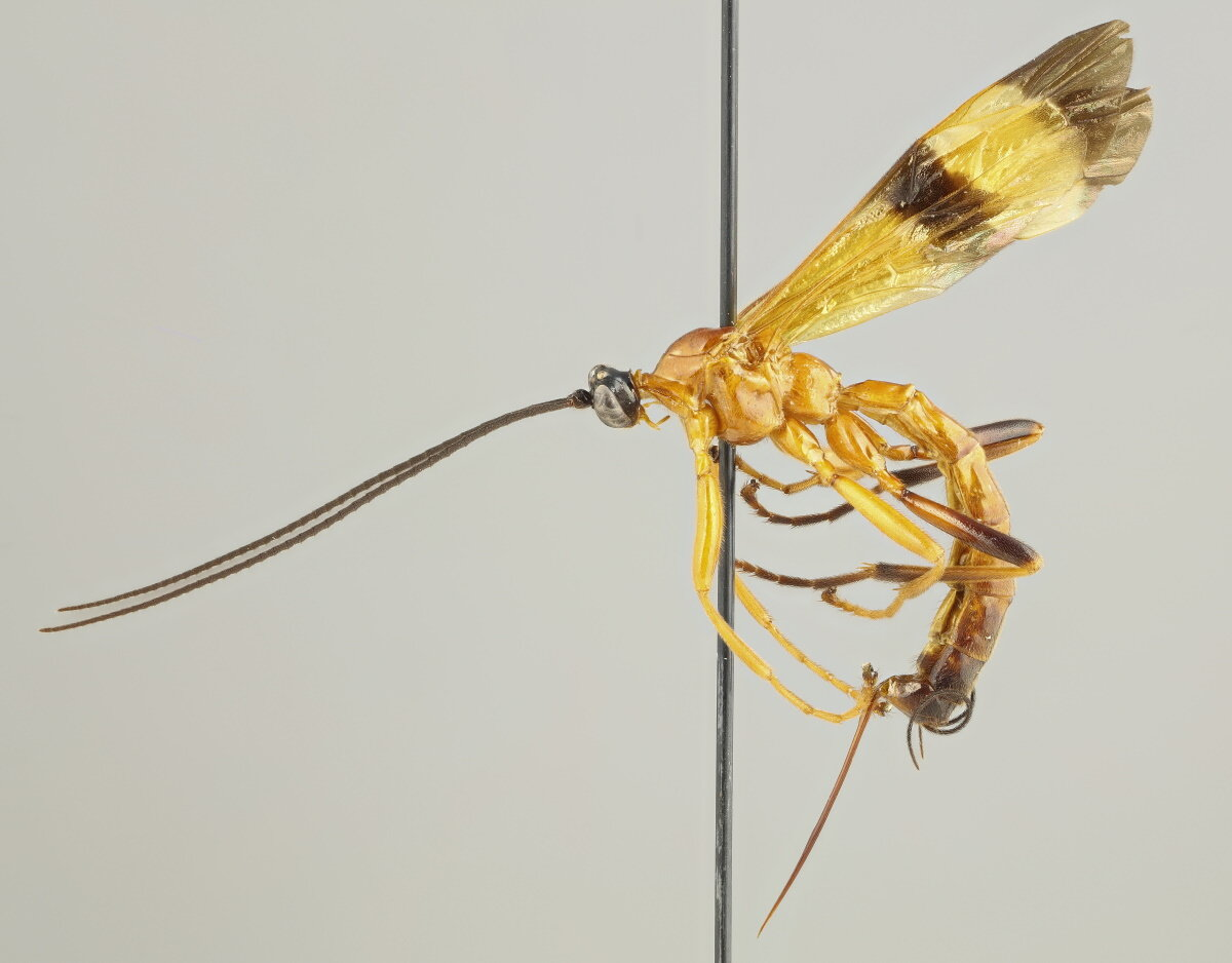 photo of Parasitoid wasp species discovered in the Amazon can manipulate host's behavior image
