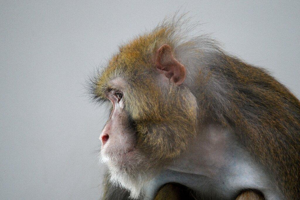 Monkeys contaminated with novel coronavirus developed short-term immunity - Medical Xpress thumbnail