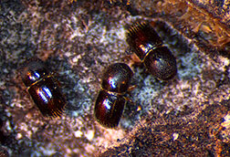 photo of Scientists bolt down the defenses against ambrosia beetles image