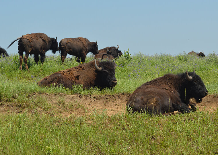 Secrets of the 'lost crops' revealed where bison roam
